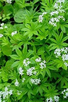 Backyard Patch Herbal Blog: Cleavers - Herb of the Week