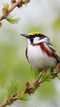 Chesnut-sided Warbler, Bird