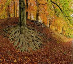 beeches in the deer park at Castle Hukvaldy, Czech rep.