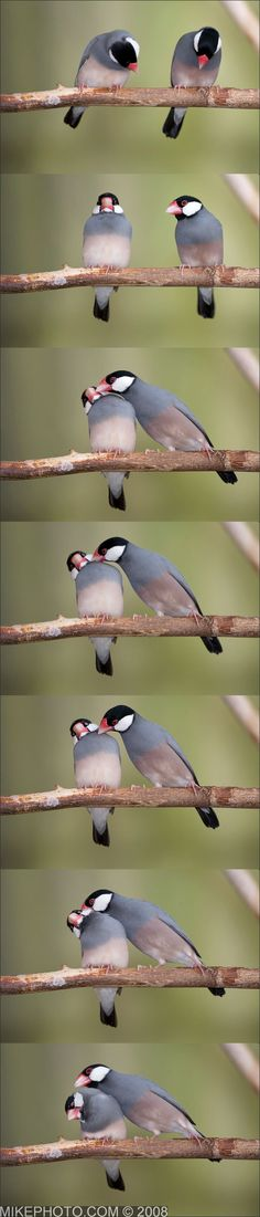 Java sparrows