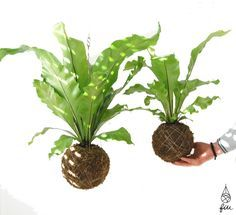 Asplenium nidus fiu jardins suspensos