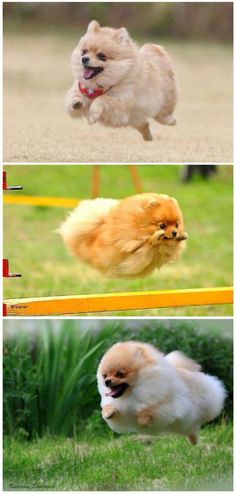 Pomeranians training for the Olympics!