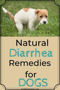 Natural Diarrhea Remedies for Dogs - Our Life in Dog Years Dog Diarrhea Remedy, Dog Has Diarrhea, Natural Remedies For Diarrhea, Outside Dog Houses, Outside Dogs, Dog Health Tips, Dog Health Care, Essential Oils Dogs, Sick Dog