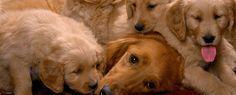 cães em familia socialização