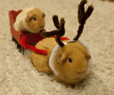 Christmas guinea pigs                                                                                                                                                                                 More