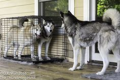 Who is going to be first? I'm not going out there, #dog #siberianhusky #husky