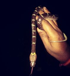 Indian wolf snake.