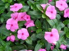 Vinca Pink Periwinkle Flower Seeds / Annual by YouMakeMeSmileSeeds on Etsy