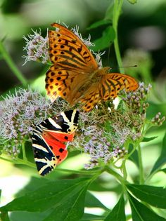 Euplagia Quadripunctaria and Fritillary butterflies sitting on flowers - Public Domain Photos, Free Images for Commercial Use nature Public Domain, Free Images, Rivera, Awesome, Amazing, Butterfly, Pictures, Photos, Dragonflies