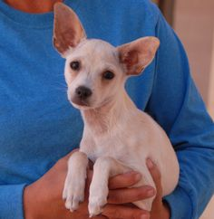 """David Lee's foster mom named him after a rock star because he loves to vocalize and sing.  He is a tiny Chihuahua puppy, almost 4 months of age, now neutered and debuting for adoption today at Nevada SPCA (www.nevadaspca.org).  David Lee needs tons of reassurance and likes to fall asleep at night with his head on your shoulder.  Since his rescue (""""unwanted"""" at 8 weeks of age), he has been raised in a loving foster home with cats and dogs."""