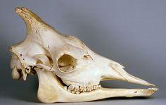 lucidempires:  a Giraffe skull.