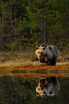 Brown bear reflection
