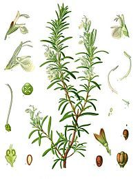 Rosmarinus officinalis / Rosmarino / Rosemary / Rozmaryn /  is a favorite herb for many gardeners. A small amount of finely ground leaves can be added to bread dough for flavoring. Another way to flavor white bread with rosemary is to place a sprig of rosemary on the baking sheet when baking your bread. It will flavor your bread, as well as the kitchen.
