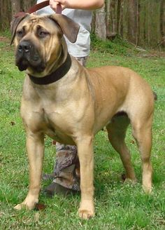 American Bandogge Mastiff Pictures And Video - American Bully And . English Mastiff Puppies, Mastiff Dogs, Big Dogs, Dogs And Puppies, Doggies, American Bull, American Bandogge Mastiff, Boston Bull Terrier, Giant Dog Breeds