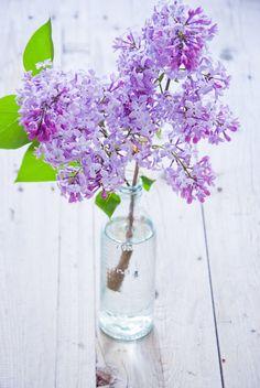 in Vase Lilacs in Vase.Lilacs in Vase. My Flower, Purple Flowers, Flower Art, Wild Flowers, Beautiful Flowers, Deco Floral, Container Flowers, House Plants, Planting Flowers