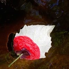 Poppy petal on poplar leaf in pond. Abstract Painters, Environmental Art, Land Art, Poppy, Artist, Nature, Plants, Naturaleza, Artists
