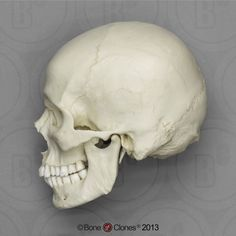 Asian Skull Shape | Human Male European Skull Stand, S-BC-107