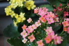 カランコエ 別名 紅弁慶(ベニベンケイ)誕生花 2月25日、3月21日、12月1日 花言葉 「幸福を告げる」「あなたを守る」「おおらかな心」「たくさんの小さな思い出」