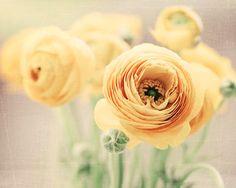 Yellow Ranunculus Photograph Pastel Spring Yellow by BreeMadden, $30.00