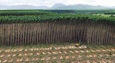 Wälder sind voller Leben, Heimat ungezählter Tiere und Pflanzen, Lebensraum von Millionen Menschen - Plantagen sind nichts davon, sondern grüne Wüsten. Trotzdem reden die Vereinten Nationen solche Monokulturen als Wälder schön. Sie öffnen damit der Zerstörung der Natur Tür und Tor. Sagen Sie der UNO: Plantagen sind keine Wälder. Bitte unterschreiben Sie unsere Petition: https://www.regenwald.org/aktion/1013/sag-der-uno-plantagen-sind-kein-wald