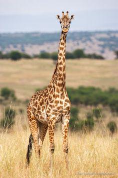"""Maasai giraffe (Giraffa camelopardalis tippelskirchi)"" by Eric Cheng"