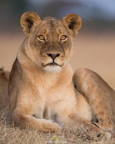 """Marlon du Toit (@marlondutoit) on Instagram: """"A lioness sits up & peers into the distance. Her fine sense of hearing alerted her."""""""