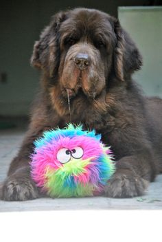 Our favorite dog toy by far is the GoDog FurBallz! It comes in a variety of colors and sizes and the large is perfect for big dogs who aren't aggressive chewers! www.mybrownnewfies.com #dogs #dogtoys #bigdogs