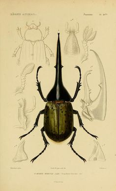 beetle, zoological illustration.
