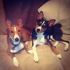 Basenji! Boku and Chipper