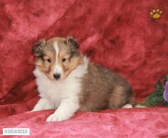 The Shetland Sheepdog originated in the and its ancestors were from Scotland, which worked as herding dogs. These early dogs were fairly Mini Shetland, Dog Lover Gifts, Dog Lovers, Mini Collie, Shetland Sheepdog Puppies, Akc Breeds, Dog Mixes, Herding Dogs, Puppy Names