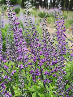 Talk about big impact! 'Royal Candles' baptisia adds color to your garden from the moment it breaks dormancy in the spring when it shoots up dark purple stems clothed in bright green leaves! http://www.bhg.com/gardening/gardening-trends/new-perennials-for-2015/?socsrc=bhgpin050715baptisiaroyalcandles&page=10