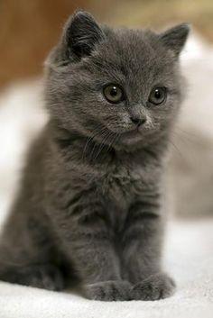 Cute Grey Kitten | Space Elephant See more cute kitten at - Catsincare.com