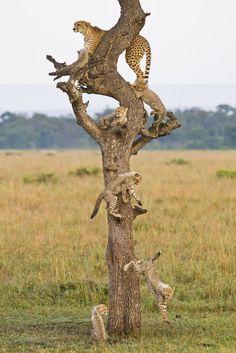 A cheetah family tree.