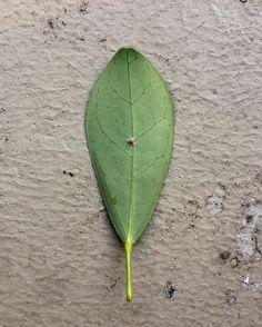 #ladybug #egg #leaf