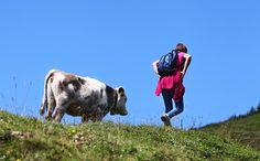 Bei Kuhattacken wurden in den vergangenen Wochen bereits mehrere Wanderer in Salzburg verletzt. Wir haben für euch Tipps, wie man sich auf den Almen in der Nähe von Weidetieren richtig verhält.