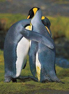 Affectionate penguins