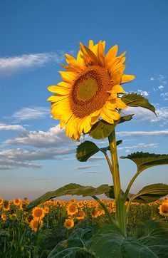 A beautiful sunflower growing in a field ~ by Ronda Kimbrow