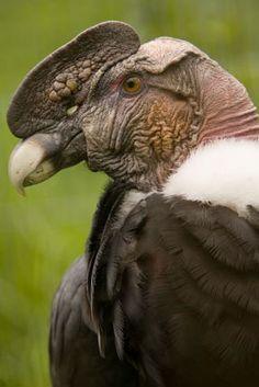 Esto es un Andean condor. Este enorme pájaro vive en los Andes. Está en peligro y bajo protección intensa. Tiene una envergadura de 3 metros. Se alimenta principalmente de animales muertos.