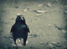 Gothic Bird Photography blackgothicravengoth by VanillaExtinction