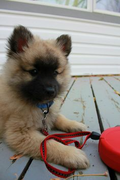 This little one who just needs to give fluffy kisses to everyone because the world needs to see her unbelievable tiny cuteness. | 17 Unbelievably Tiny Puppies