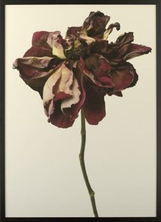 Rachel Levy - decaying flower photography