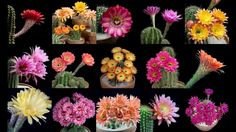 Freaky Flowers: Echinopsis Cacti in Bloom
