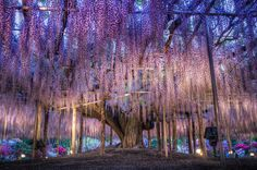 Most beautiful places in the world: Ashikaga Flower Park