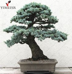 Cedrus deodara seeds Cedrus Deodara Conifer Indoor Plant #bonsai tree seeds Light blue Deodara Cedar seed 10pcs/bag