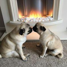 two pugs a kissing! #pug