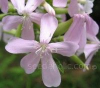 Soapwort flowers appear in June to early September but the best time to admire their grace is July.