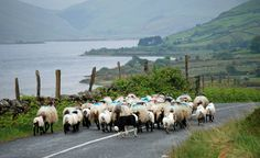 After Lough Nafooey , we drove by Lough Mask, where we came across a man and his border collie herding sheep down the road. Sheep Farm, Sheep And Lamb, Sheep Dogs, Counting Sheep, Miss Marple, Country Life, Country Living, Farm Animals, Goats