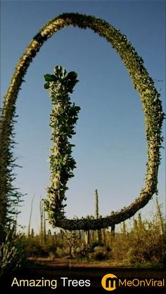 Trees And Shrubs, Trees To Plant, Cactus Mexico, Weird Trees, Magical Tree, Plant Fungus, Old Trees, Unique Trees, Unusual Plants