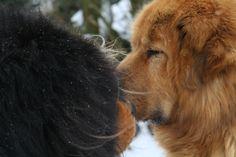 Pappy & Ao Tibetan Mastiff, Dogs, Animals, Animales, Animaux, Pet Dogs, Doggies, Animal, Animais
