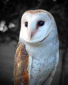 Barn Owl - photo print, 8x10 inches (20x25cm) - Fine Art nature decor bird photography, owl wall art